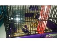 Dawarf hamsters