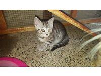 bengal x british short haired kittens
