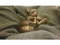 Beautiful Lilac Chihuahua
