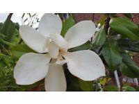 Magnolia grandiflora Bull Bay tree 430cm