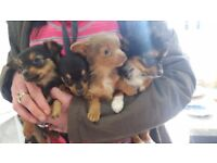 Puppies for sale! Chihuahua