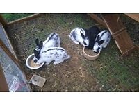 Baby Rabbits Belgian Hare x Rex and Old English x Rex