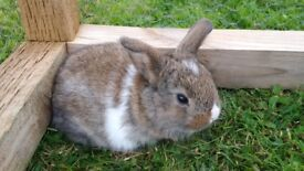 Cute purebred Dwarf-lop baby rabbits for sale!!