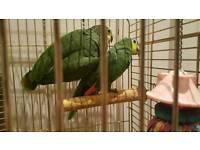 Pair of Amazon parrots for sale
