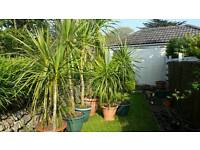 Collection of healthy cornish palm trees