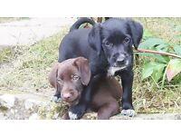 Pointer Collie X puppies