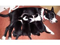 3 female Border Collie Puppies for sale