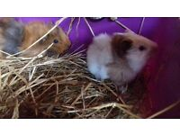 Pair baby boy guinea pigs