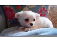 Beautiful long coat Chihuahua Male Puppy