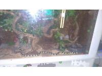 Calafornia king snake