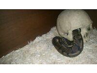 vivarium with 2ft baby royal python £120ono