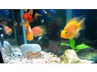 Parrot fish for sale   various colours   live tropical fish