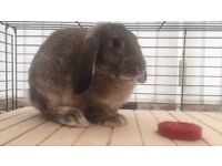 MALE BUNNY FOR SALE - 5 MONTHS OLD (BEEN VACCINATED)