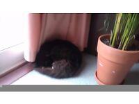 FOUND - MAINE COON CAT