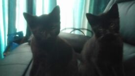 Beautiful kittens for sale,both sexes ready now.£40 each