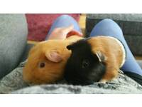 Pair of guinea pigs cage and run
