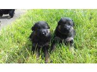 Kc German Shepherd pups