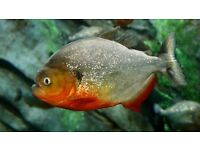 3 x Red Belly Piranha, with tank *REDUCED*