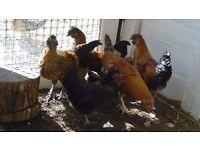 Yokohama bantam/black silky chickens