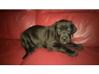 Quality Cane Corso Puppy Pick of The Litter Boy
