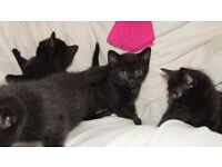 4 beautiful black kittens for sale