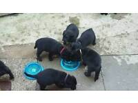 Kc registerd labrador puppies (black)