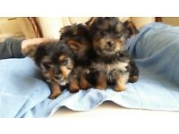 Yorkshire Terrier Teddy Bear Puppies for sale - ready to go now - Rochdale