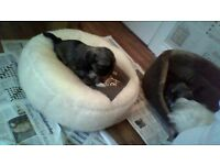 4 Male Shih tzu Pups for sale £300 *purebred*
