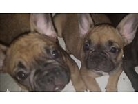 Stunning french bulldog pups Fawn Sable boy and girl - now ready to leave