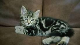 Cute tabby kitten for sale