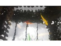For Sale - Koi Carp, Goldfish and UV Filters and Pump
