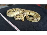 Adult female bumblebee royal python - pretty snake