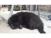 beautiful black chow puppy