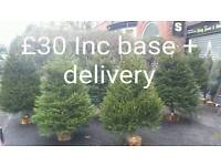 Long lasting Real Christmas Trees free delivery free base