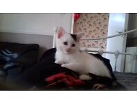 Gorgeous kitten female. We have a very pretty & trained kitten