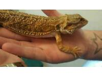 young male breaded dragon