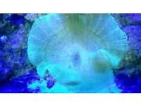 Green carpet anemone