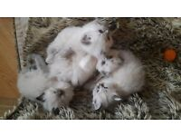 (ONLY 2 LEFT) - 4 GORGEOUS SEAL POINT/LYNX RAGDOLL KITTENS FOR SALE - £475 EACH - READY 29.5.17