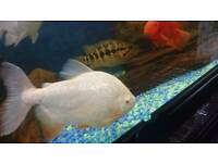 Pacu for sale