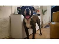 Full breed male American Bulldog for sale