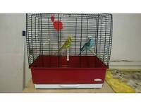 Two female budgies for sale