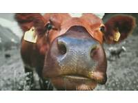 Quirky cow canvas framed print