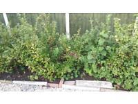 Gooseberry bushes free