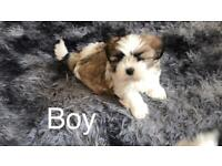 Imperial Shih tzu puppies ready now 8 weeks old
