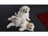 Last few bichon frise puppies for sale