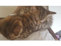 Ready now stunning tiger bengal kittens 8 weeks old have been lovingly raised in family home