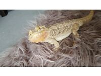 Female beared dragon with full set up