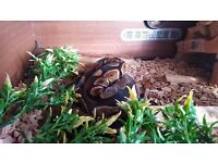 Female Ball Python and full set-up