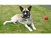 Cross breed 2 yr old dog needs loving home.