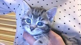Half Bengal kitten Male - £200
